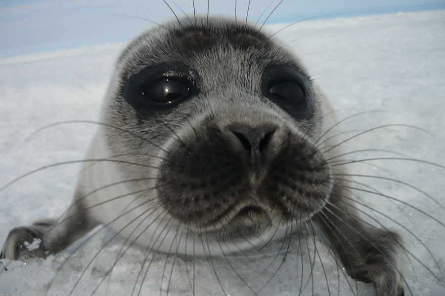 Image of a Nerpa seal from Lake Baikal
