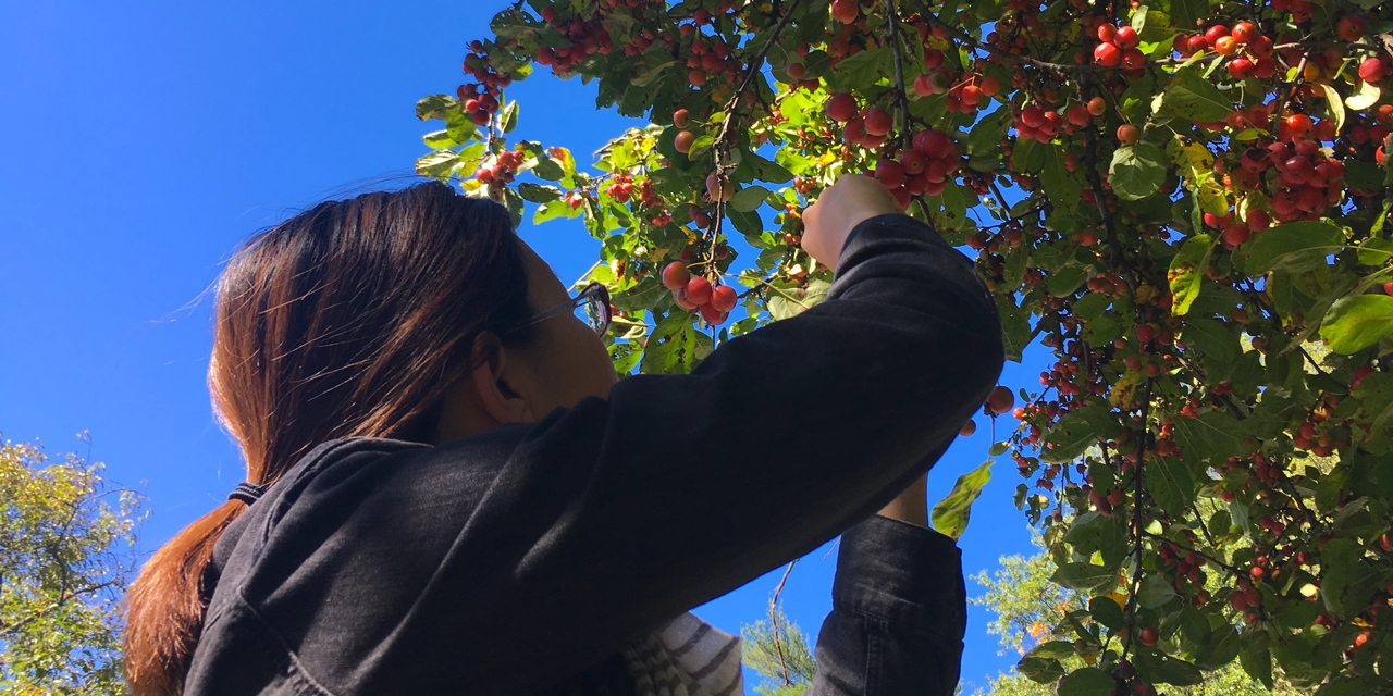 A student picks crabapples from  a tree against a blue sky.