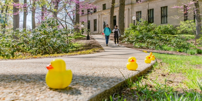 Tiny yellow ducks line a walkway leading to Clapp Library