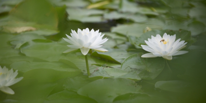 Two blooming water lilies on a pond.
