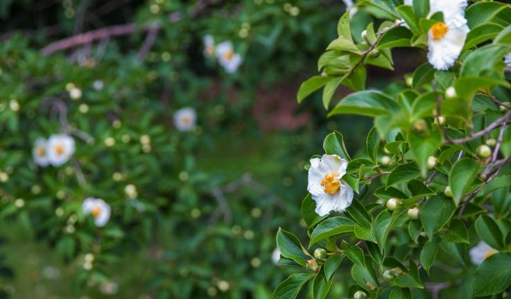 Korean Stewartia trees