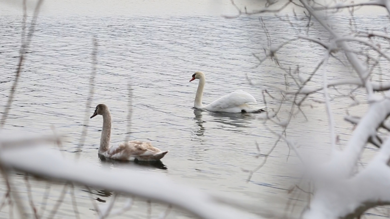Two swans glide across Lake Waban